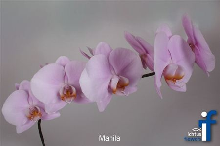 Фаленопсис Manila *45 Long Stems
