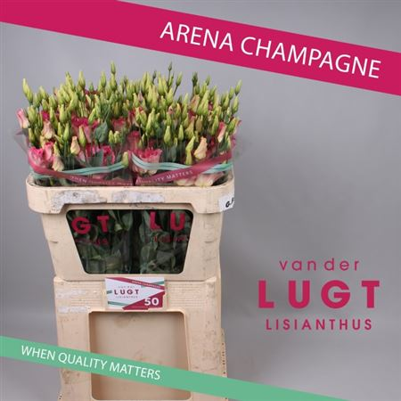 Эустома G Arena Champagne V/d Lugt