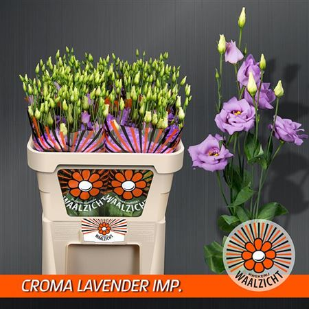 Эустома G Croma Lavender Improved Waalzicht
