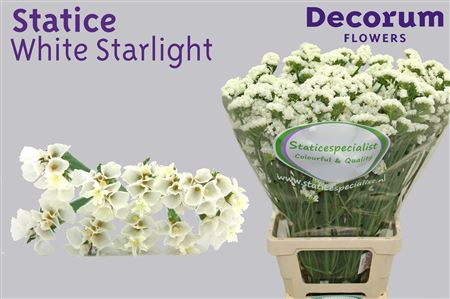 Лимониум Statice White Starlight