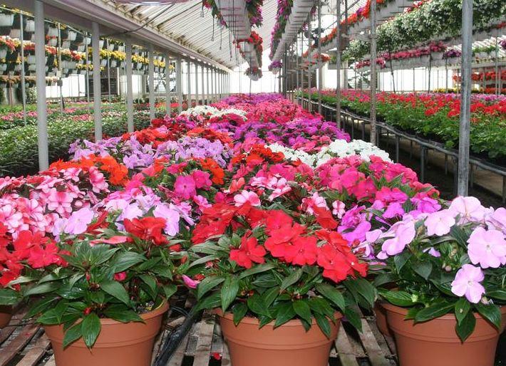 Купить горшечные цветы оптом низким ценам подарок на 8марта девочке 9лет