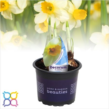 Нарцисс 3pp Spring Sunshine (decorum)
