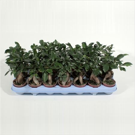 Фикус Microcarpa Ginseng (decorum)