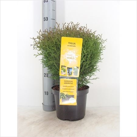 Туя Occidentalis Tiny Tim Plants-of-the-world