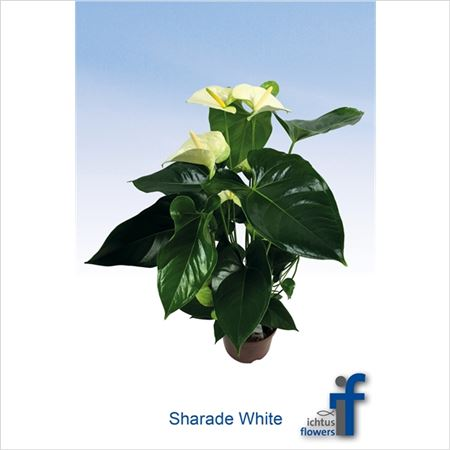 Антуриум An Sharade White 5+
