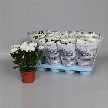 Хризантема Grandezza Double White (decorum)