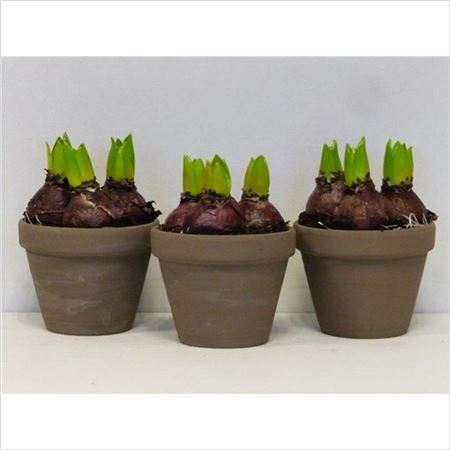 Гиацинт 3pp Mix In Brown Terracotta Pot