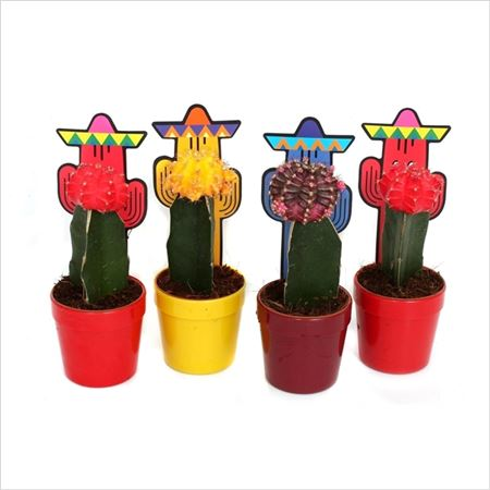 Гимнокалициум Mix Plastic Pot Cactus Cover
