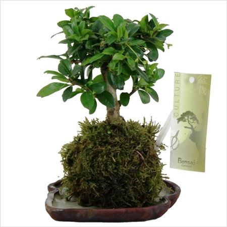 Бонсай Kokedama With Saucer