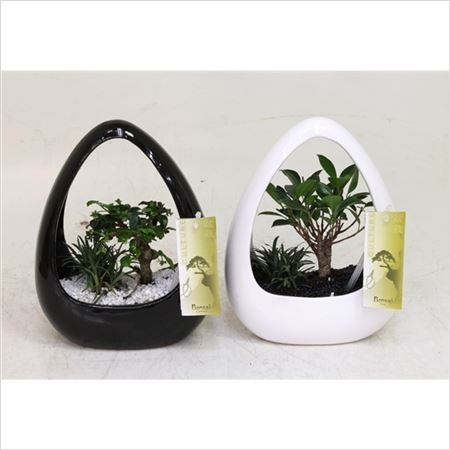 Бонсай Ikebana Black And White Pot