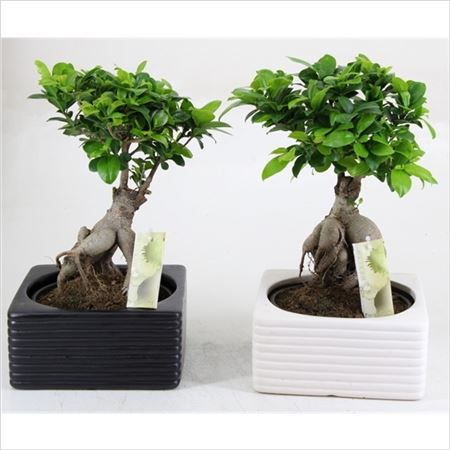 Фикус Ginseng In Black And White Relief Pot