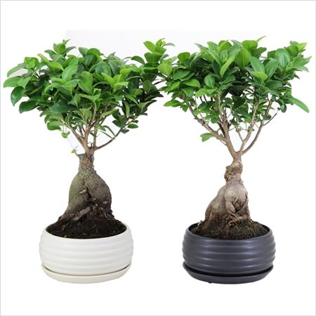 Фикус Ginseng In Black And Round Relief Pot