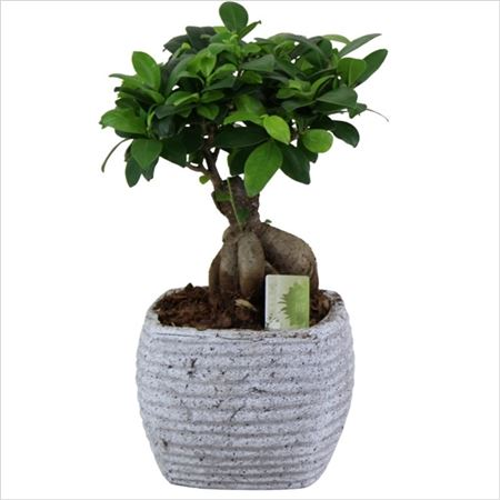 Фикус Ginseng In Square Granite Look Pot
