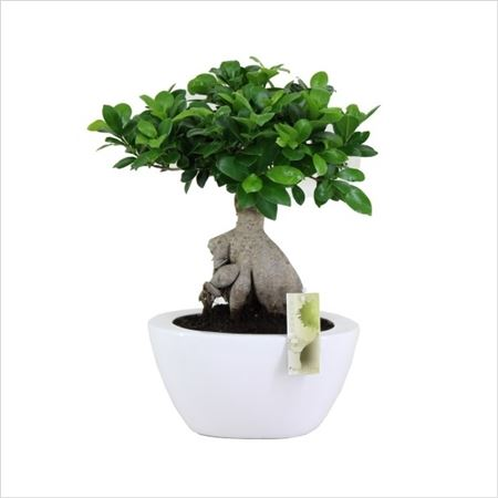 Фикус Ginseng In Black And White Folded Pot