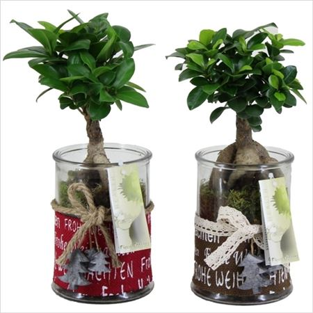 Фикус Ginseng In Frohe Weinac Glass