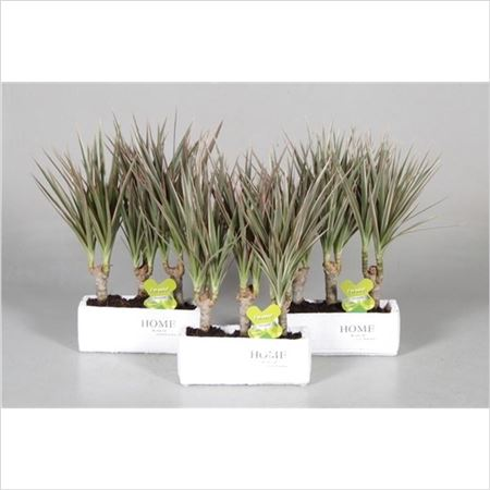 Драцена Bicolor 3 Stems In Home Keramiek (decorum)