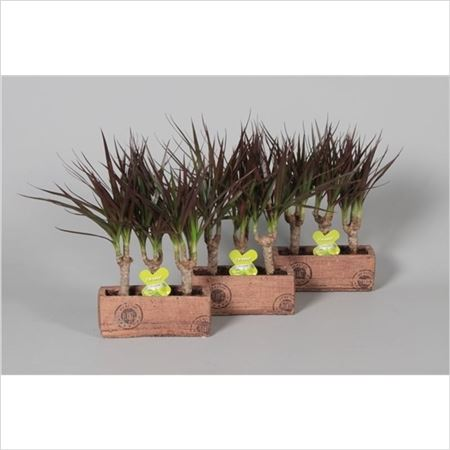 Драцена Magenta 3 Stems In Wood Ceramic (decorum)