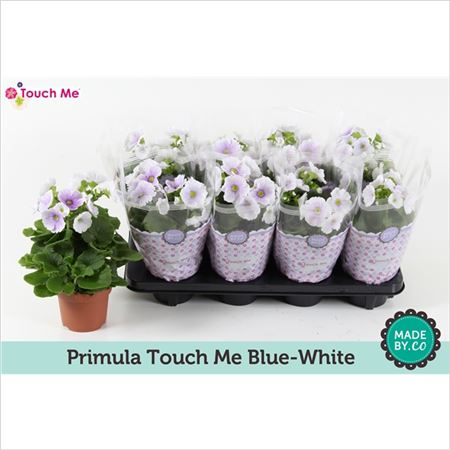 Примула Obconica Touch Me F1 Blue White
