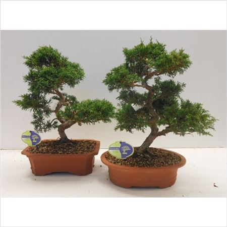 Бонсай Juniperus Chinensis