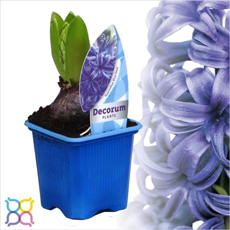 Гиацинт 1pp Blue Pearl Etiket (decorum)