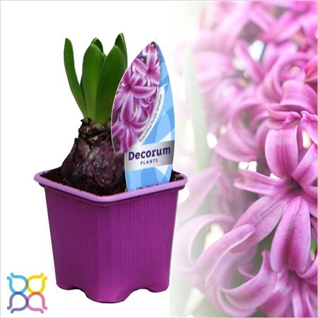 Гиацинт 1pp Purple Sensation Etiket (decorum)