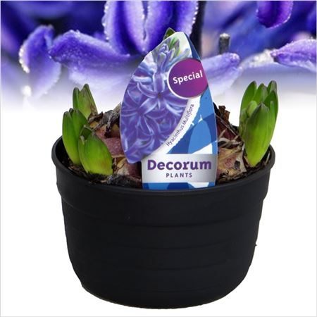Гиацинт Multiflora Blue (decorum)