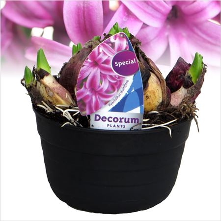Гиацинт Multiflora Purple (decorum)