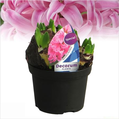 Гиацинт Multiflora Pink (decorum)