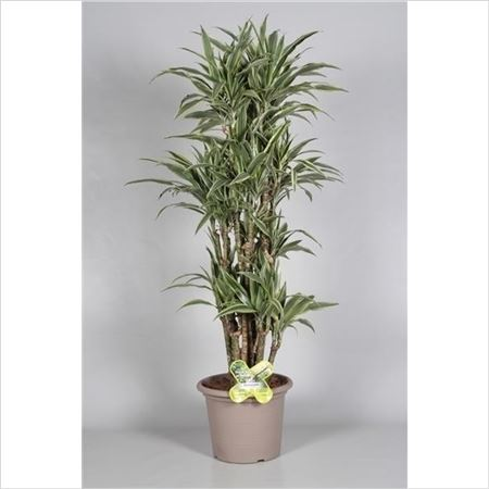 Драцена Lemon Green Bush In Deco Pot (decorum