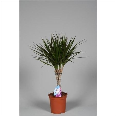 Драцена Marginata 30cm Twisted (decorum)