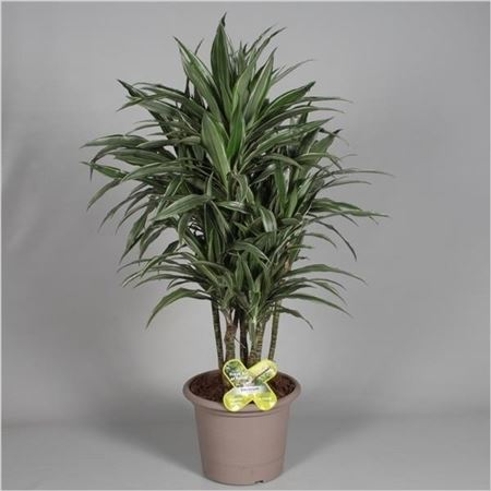 Драцена Warneckei Bush In Deco Pot (decorum)