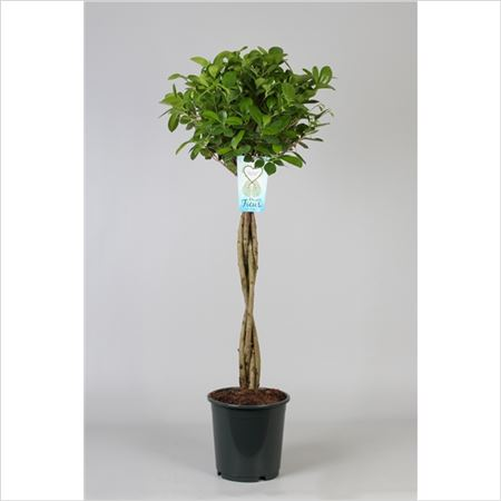 Фикус Microcarpa Moclame Twisted Stem