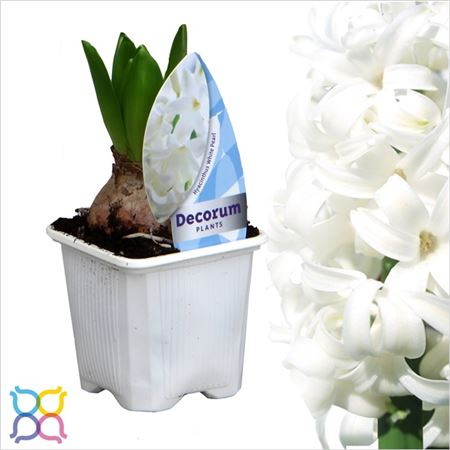 Гиацинт 1pp White Pearl Etiket (decorum)
