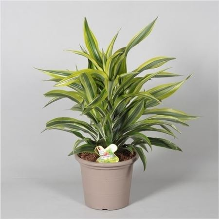 Драцена Lemon Lime 3pp In Deco Pot (decorum)