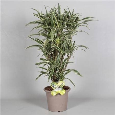 Драцена Lemon Green Bush In Deco Pot (decorum)