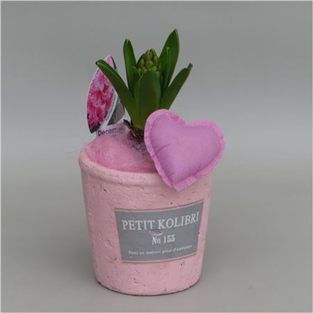 Гиацинт In Petit Kolibri Valentine Pot