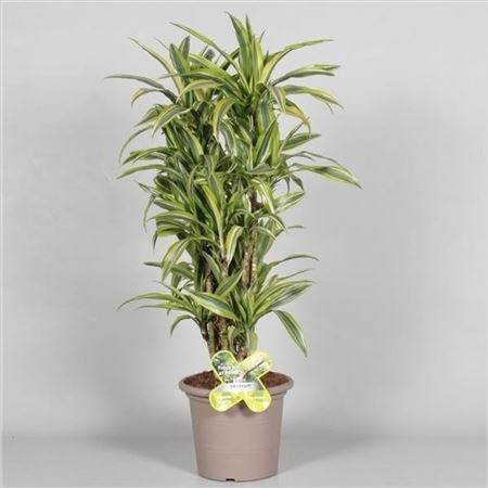 Драцена Lemon Lime Bush In Deco Pot (decorum)